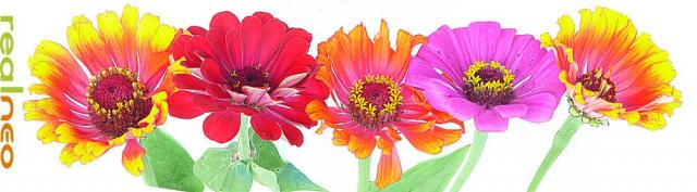 Zinnia - please tell me more about color